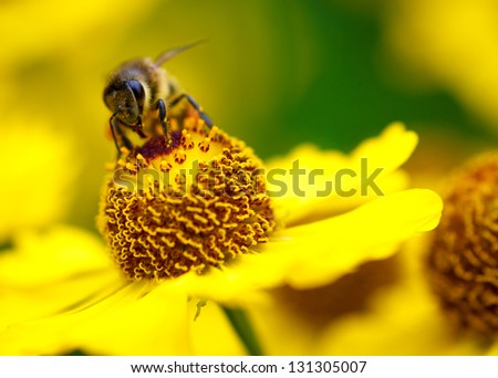 A bee drinking nectar on the yellow flower