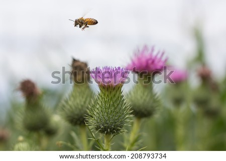 a bee flying over flower to collect pollen  - stock photo
