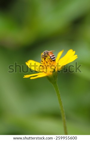 A bee is drinking a nectar from yellow flower - stock photo
