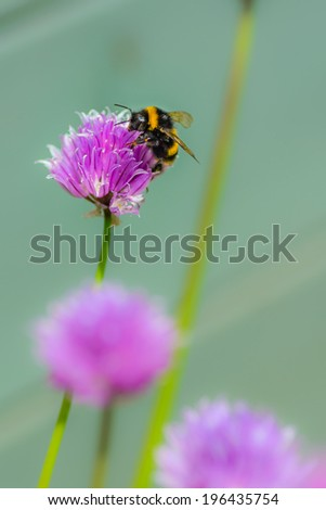 A bee on a chive blossom - stock photo