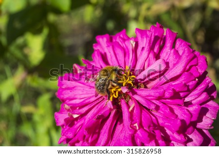A bee on a pink flower. Close up.
