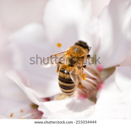 A bee on a white almond tree flower - stock photo