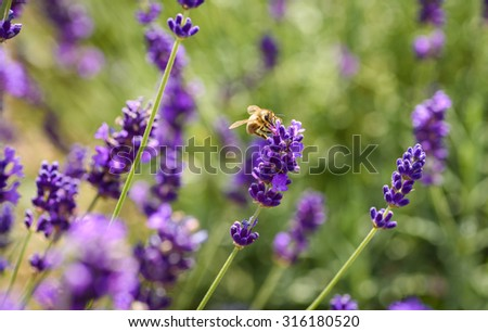 A bee on Lavender on beautiful summers day in a lavender field - stock photo