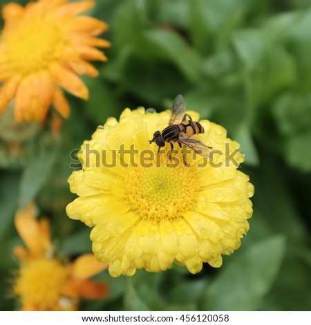 A bee on the yellow chrysanthemum