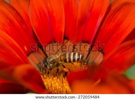 A bee on vibrant daisy flower (Gazania). - stock photo