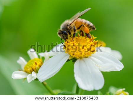 A bee on wild flower pollens with green background. - stock photo