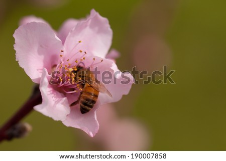 A bee pollinating a beautiful pink nectarine flower