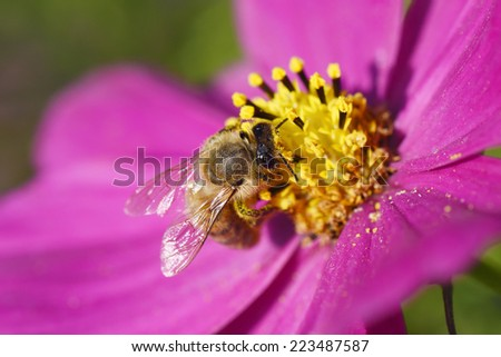 A bee pollinating a bright pink cosmos flower.