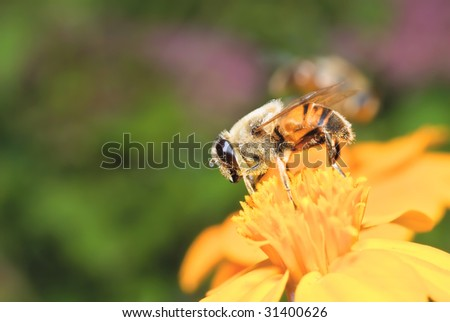 A bee sits on a yellow flower and eats nectar