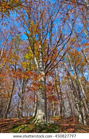 a beech tree forest in autumn with colorful leaves in a bright and peaceful day
