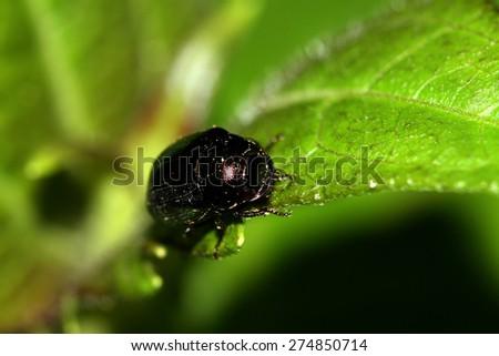 A beetle on leaf - stock photo