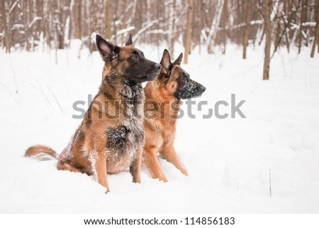 A belgian and a german shepherds sitting in snow