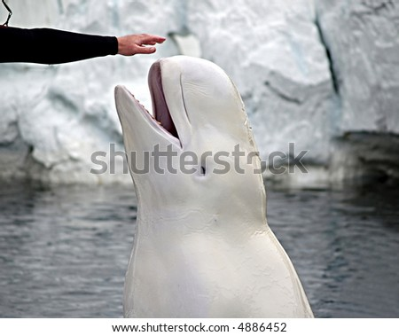 A beluga whale spyhops out of the water to touch her trainer's outstretched hand - stock photo