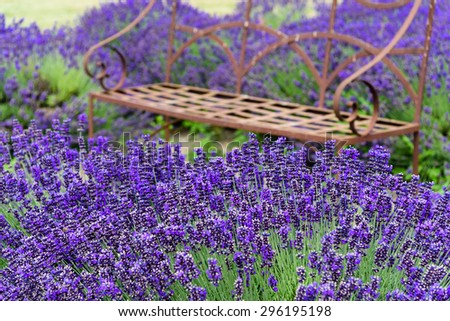 A bench at lavender field in peak bloom in Sequim, Washington, US. Sequim is the lavender Capital of North America. Lavender is a beautiful aroma flower in herbal medicine.