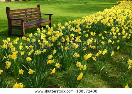 A bench next to rows of daffodils in a park in England, - stock photo