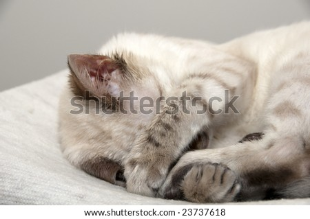A Bengal kitten sleeping on a bed - stock photo