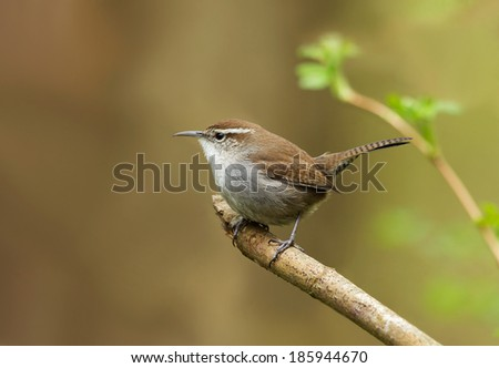 A Bewick's wren perches on a branch at the edge of a forest.