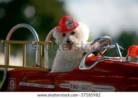 A Bichon Frise dog enjoys her ride in a Pedal car Fire Truck outside - stock photo