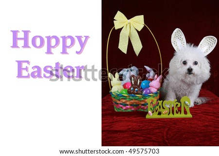Bichon frise poses easter bunny on stock photo 100 legal a bichon frise poses as the easter bunny on a greeting card concept with m4hsunfo