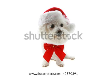 a bichon frise wears a red bow and santa hat for christmas, isolated on white