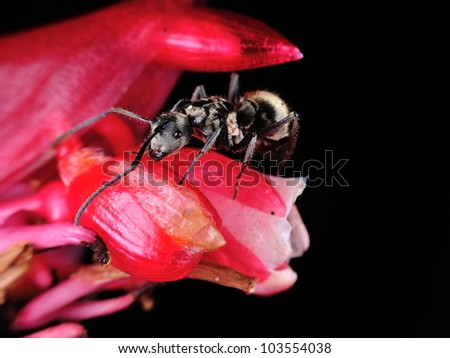 A big black ant on a red flower with isolated black background - stock photo