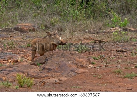 A big boar warthog with large tusks behind the stone hill. Sheldrick Elephant Orphanage in Nairobi, Kenya - stock photo