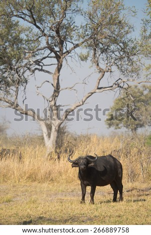 A big buffalo standing in the Linyanti swamps - stock photo
