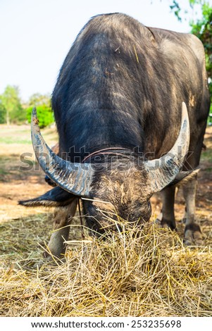 A big buffalo with the beautiful horn - stock photo