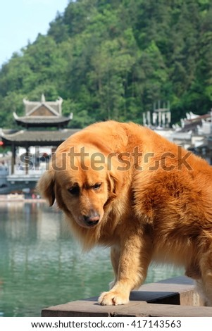 A big dog with orange fur is standing at the riverside of Phoenix Ancient Town (Fenghuang town) in Hunan, China.