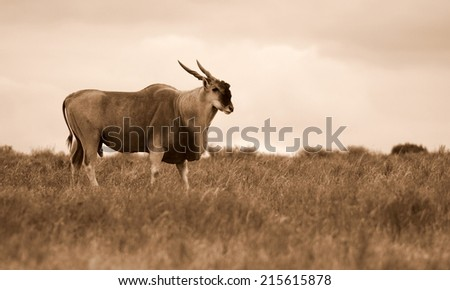 A big Eland bull antelope in this sepia tone image. - stock photo