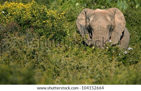 A big elephant bull making his way through some thick green bushes.Took this lanscape portrait while on safari in Addo elephant national park,eastern cape,south africa - stock photo