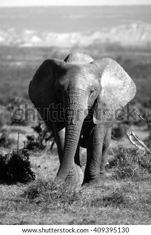 A big elephant bull walks through an open grassland in this image. - stock photo