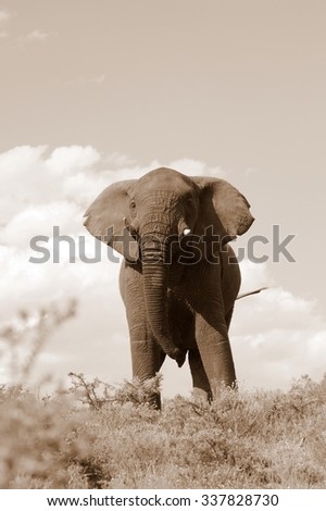 A big elephant bull walks through an open grassland in this image. South Africa