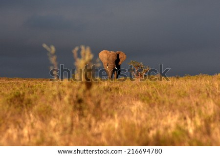 A big elephant bull walks through an open grassland in this image taken in golden light before a storm. - stock photo