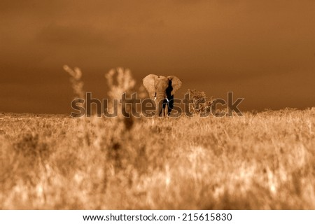 A big elephant bull walks through an open grassland in this sepia tone image. - stock photo