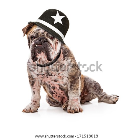 A big English Bulldog with a mean look on his face and one tooth sticking wearing a Keystone cop hat - stock photo