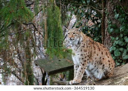 A big Eurasian Lynx ( wild cat with spots ) sitting on a wood log during winter in Europe - stock photo