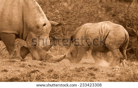 A big female white rhino and her baby calf, together in this nurturing,