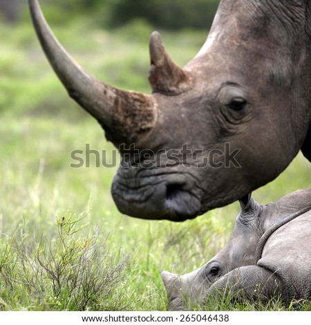 A big female white rhino and her baby calf, together in this nuturing, teaching photo taken in South Africa. - stock photo
