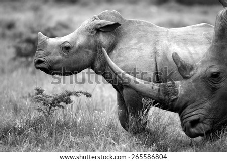 A big female white rhinoceros and her baby calf, together in this nuturing, teaching photo taken in South Africa. - stock photo