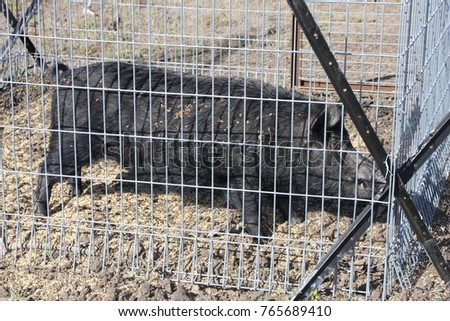 big feral wild boar cage trap stock photo royalty free 765689410