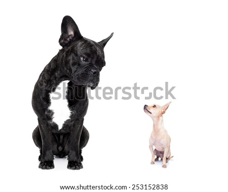a big french bulldog and small tiny chihuahua dog looking at each other, feelings involved, isolated on white background - stock photo