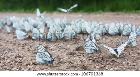 a big group of Black-veined White butterflies  (Aporia crataegi) drinking water on the road. 2012 was the year of extraordinary population burst of this species in central Russia. - stock photo