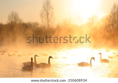 A big group of wild swans swimming in a winter lake on a sunset and some ducks on a background. Altai mountains, Siberia, Russia. - stock photo