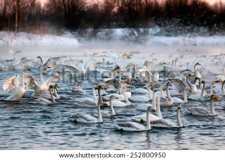 A big group of wild swans swimming in a winter lake on a sunset, Siberia, Russia. - stock photo