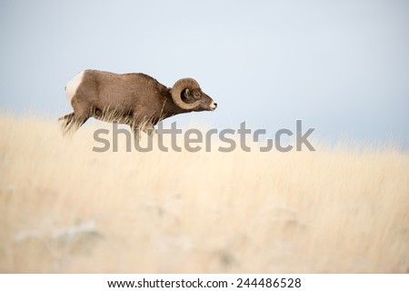 A big horn sheep ram approaching a band of sheep with head down, full body profile facing right - stock photo
