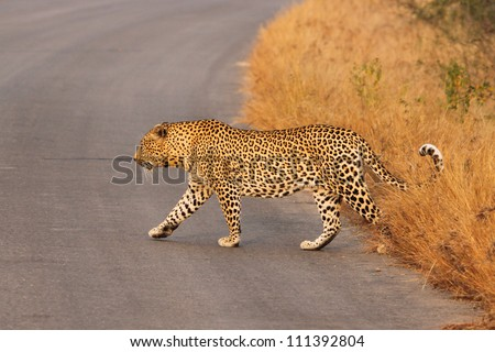 A big male leopard crossing the road
