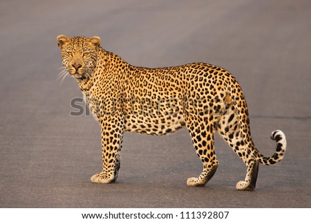 A big male leopard in his prime