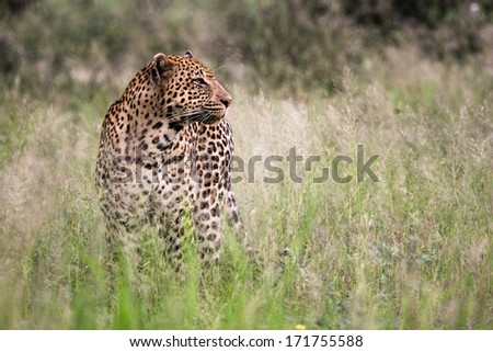 a big male leopard staring to the right