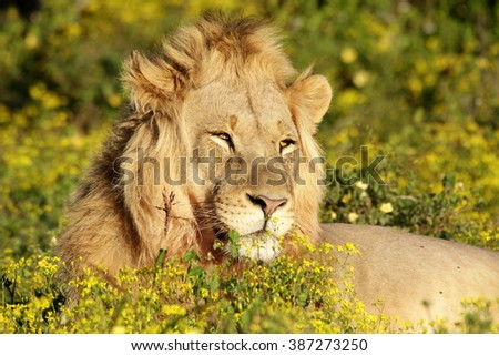 A big male lion in beautiful morning light lying in the flowers. Taken on a wildlife safari in South Africa. - stock photo